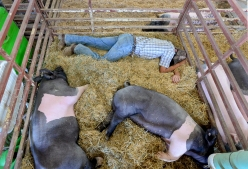 Tristan St. Onge sleeps in a pig pen at the Boulder County Fair on Wednesday. Go to timescall.com for more photos. Matthew Jonas / Staff Photographer Aug. 5, 2015