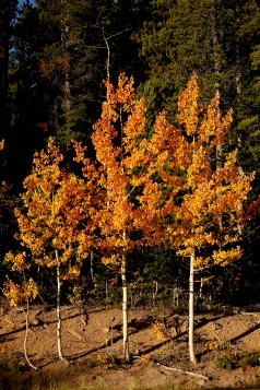 BOULDER COUNTY, CO - SEPTEMBER 26:Aspen trees along Colo. 72 near Ward on Sept. 26, 2019.(Photo by Matthew Jonas/Staff Photographer)