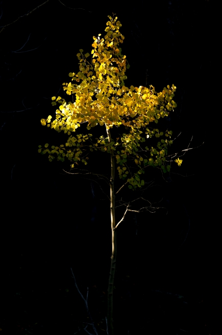 BOULDER COUNTY, CO - SEPTEMBER 26:A small aspen tree is illuminated by the sun through a tree near Colo. 72 on Sept. 26, 2019.(Photo by Matthew Jonas/Staff Photographer)