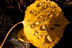 BOULDER COUNTY, CO - SEPTEMBER 26:The sun illuminates water droplets on an aspen leaf by a small stream near Colo. 72 on Sept. 26, 2019.(Photo by Matthew Jonas/Staff Photographer)