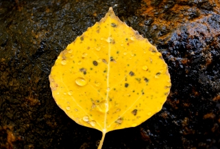 BOULDER COUNTY, CO - SEPTEMBER 26:An aspen leaf sits on a rock by a small stream near Colo. 72 on Sept. 26, 2019.(Photo by Matthew Jonas/Staff Photographer)