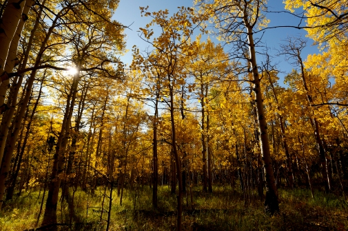 BOULDER COUNTY, CO - SEPTEMBER 26:The suns shines through the leaves in grove of Aspen trees near Colo. 72 on Sept. 26, 2019.(Photo by Matthew Jonas/Staff Photographer)