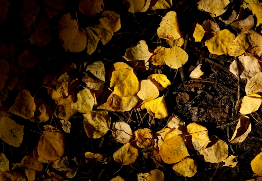 BOULDER COUNTY, CO - SEPTEMBER 26:Aspen leaves litter the floor of a grove near Colo. 72 on Sept. 26, 2019.(Photo by Matthew Jonas/Staff Photographer)